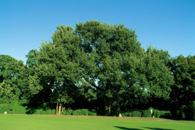 La quercia secolare