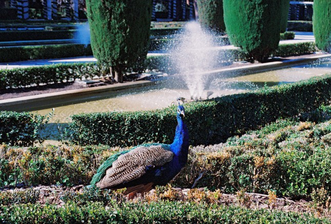 Pavoni liberi di gironzolare nel Jardines de Cecilio Rodríguez, all'interno del Parque del Retiro.