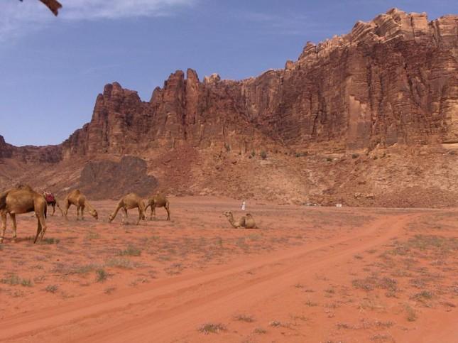 Dromedari al pascolo nel deserto