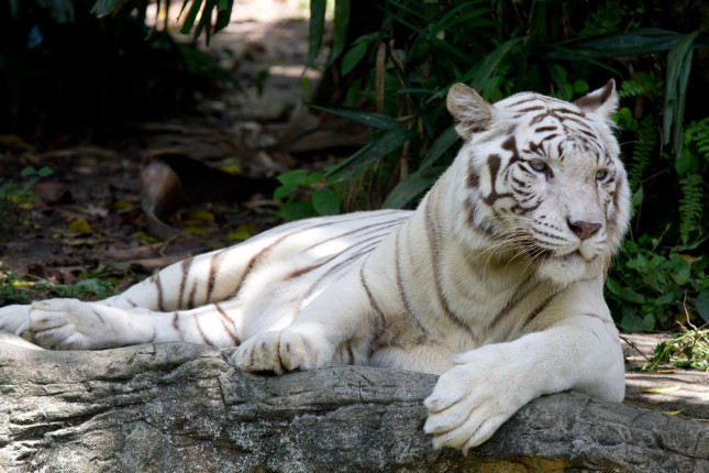 Tigre bianca allo zoo di Singapore