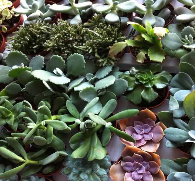 Bomboniera: un mare di piantine grasse, un'idea regalo ecologica e originale di Bluemilia Flower Studio