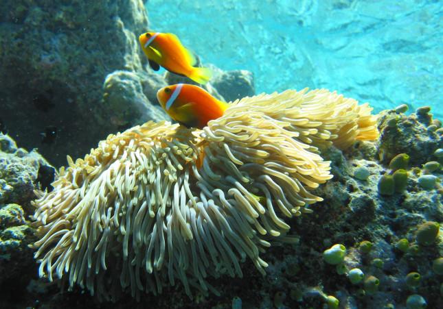Maldive, anemone / wikipedia