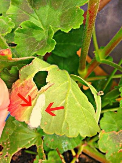 Cocciniglia farinosa: macchie bianche e farinose sulla parte inferiore della foglia di geranio indicano il proliferarsi del parassita