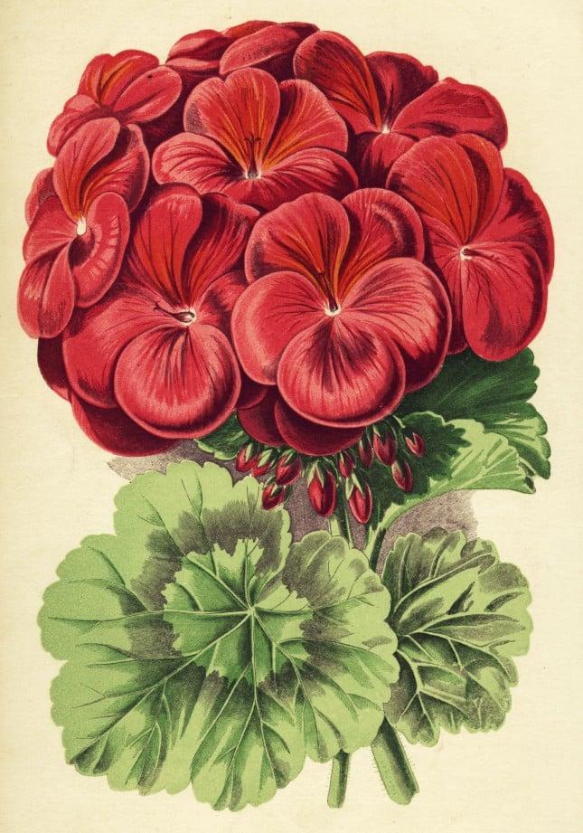 Gerano rosso: una raffigurazione del 1850 con tipica fioritura a