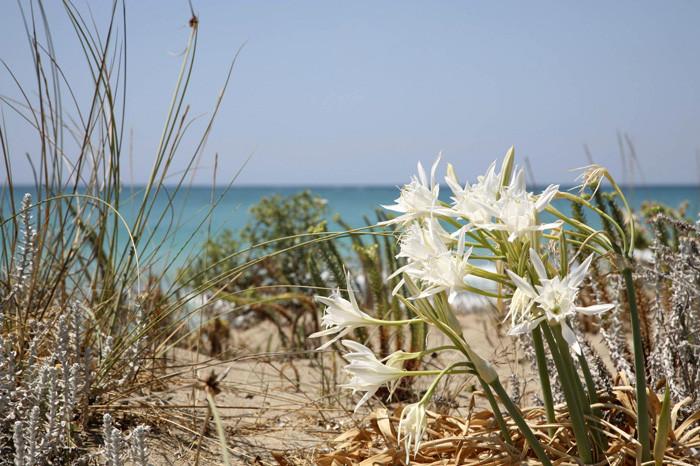 Gigli delle dune / wikipedia