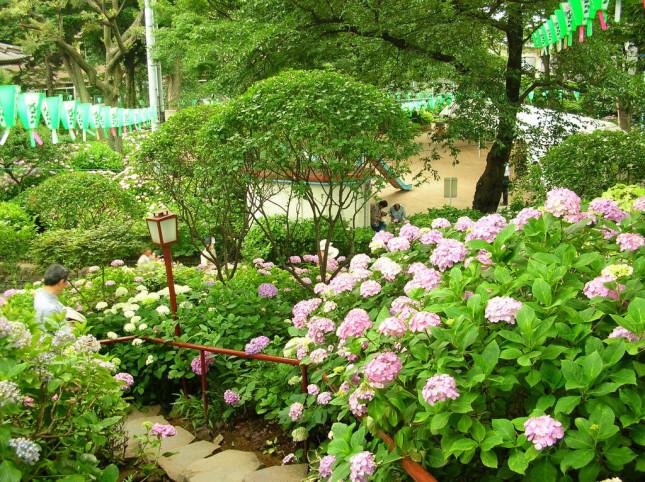 L'ortensia è una pianta originaria della Cina e del Giappone, importata in Europa solo alla fine del Settecento