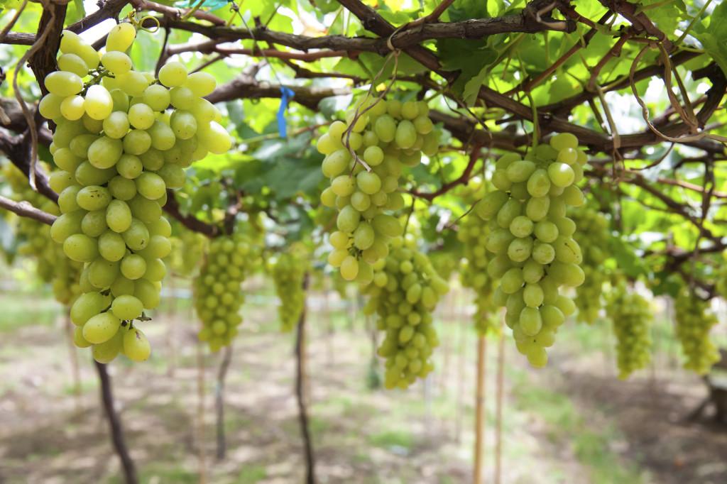 L'uva bianca è ricca di vitamina C