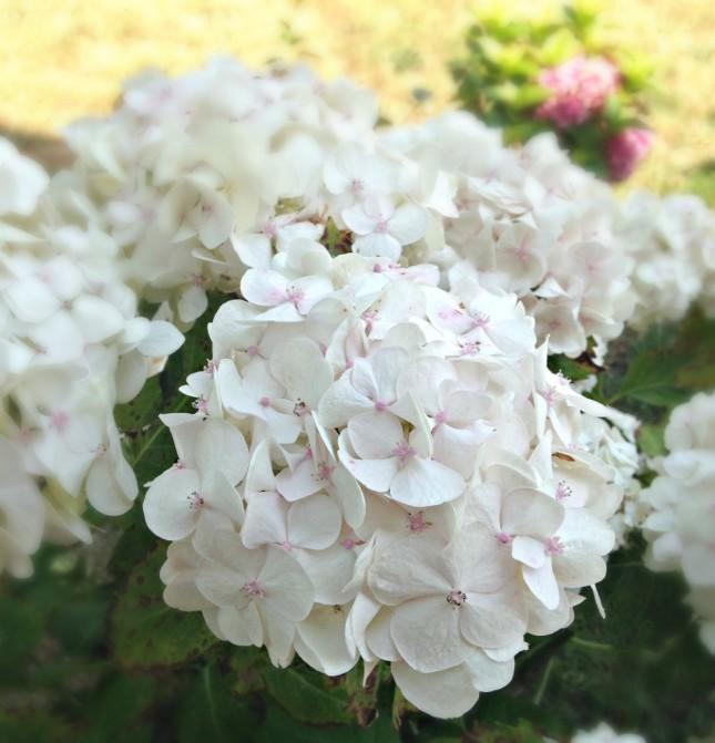 Le ortensie bianche crescono quando il terriccio  è alcalino, ovvero di natura argillosa. Nutrile con apporto di zolfo e ferro
