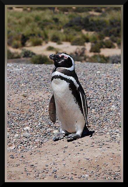 Punta Tombo, Pinguino Di Magellano / @flickr / aprile24