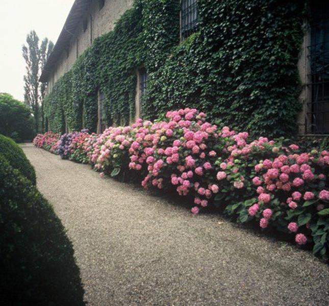 Le splendide ortensie nel giardino di Villa Ferrari di Gussola (Cremona).