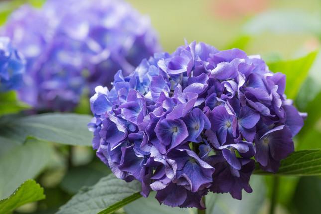 Scegli l'ortensia per abbellire e colorare il tuo giardino estivo, viola o rosa, azzurro cielo o bluastro, opta per quella che preferisci!