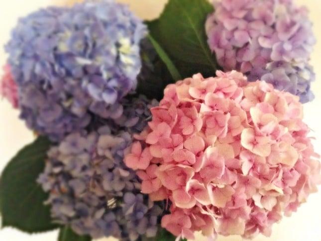 L'ortensia è chiamata  la seconda regina del giardino per i suoi fiori coloratissimi e la sua bellezza