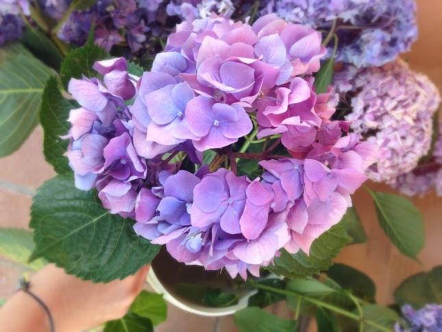 Bellissima variante di ortensia viola-rosa-azzurra,  a volte i petali ottengono sfumature diverse a seconda della conformazione del terreno