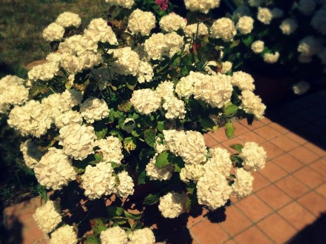 Una delle varietà d'ortensia più coltivata è quella bianca, che cresce in un terreno alcalino