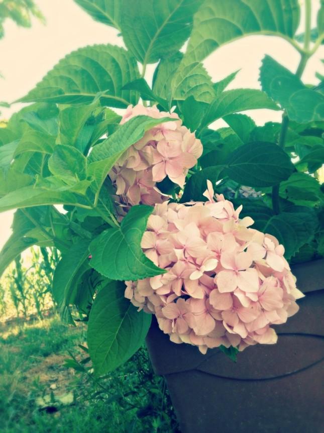 Hydrangea macrophilla varietà rosa, cresce in terreni alcalini e argillosi