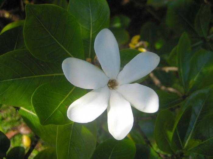 Tiaré Tahiti, fiore tipico delle Isole Cook / wikipedia