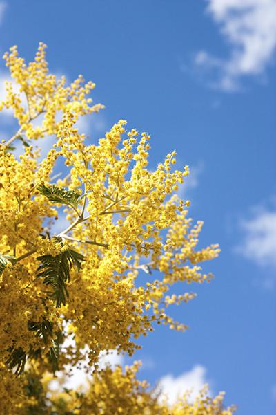 mimosa-pianta