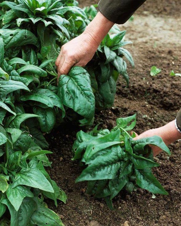 Gli spinaci come tutte le altre verdure fanno parte dei rimedi per prevenire l'inestetismo dei capillari