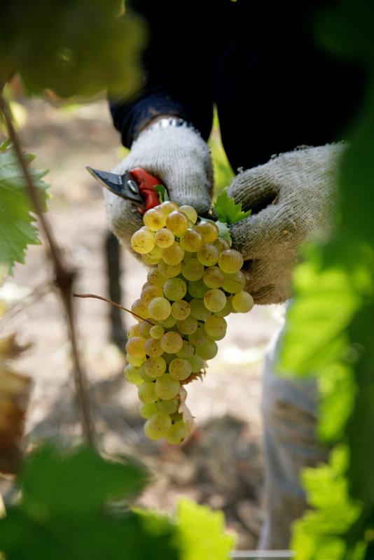 L'uva del Vermentino ligure