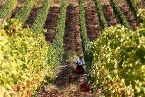 Le vigne di vermentino della Val di Magra