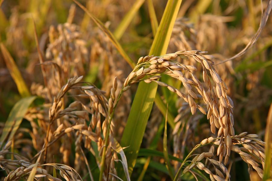 Il glutine è un complesso proteico presente in alcuni cereali come il frumento, la segale o l'orzo: chi soffre di celiachia deve evitarne l'assunzione diretta e indiretta.