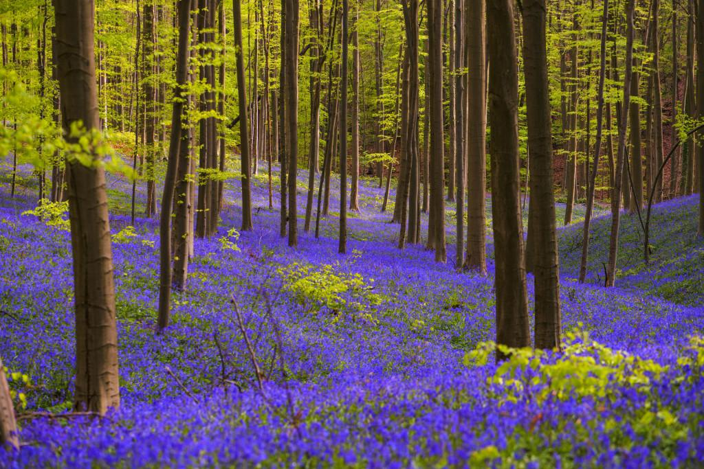 Il bosco blu, Hallerbos. ©Hallerbos.be
