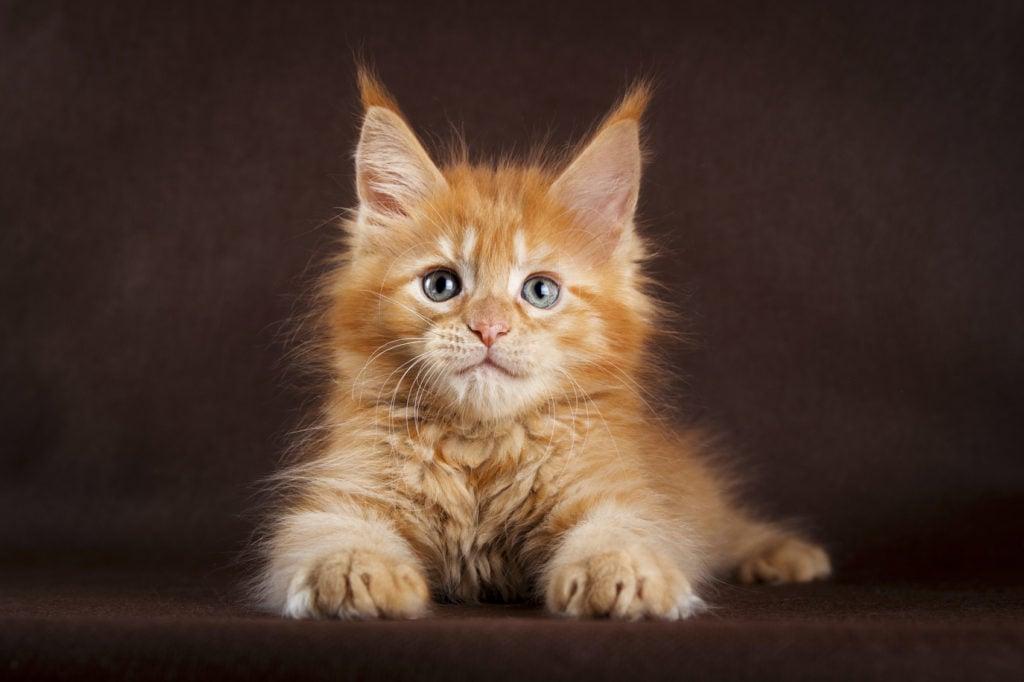 10 Razze Di Gatto Più Belle E Particolari Unadonna