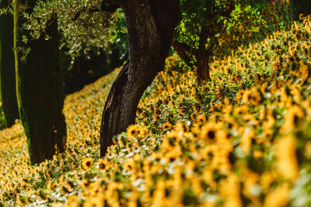 Girasoli ai Giardini di Sissi