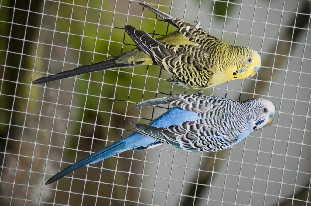 Il canarino: questo piccolo uccellino ha bisogno di compagnia.