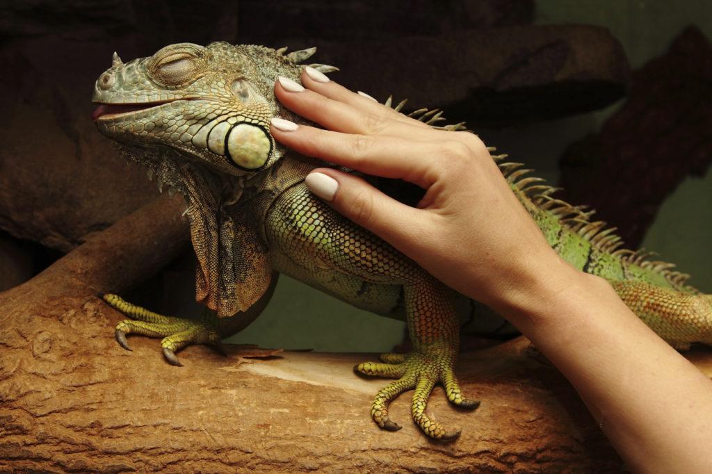 A molti l'iguana fa molta compagnia.