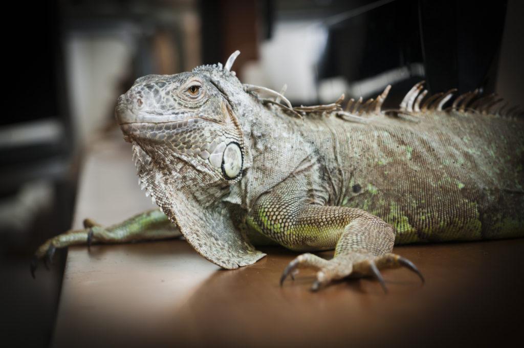 L'iguana è un animale che ha bisogno di molto calore ed illuminazione.
