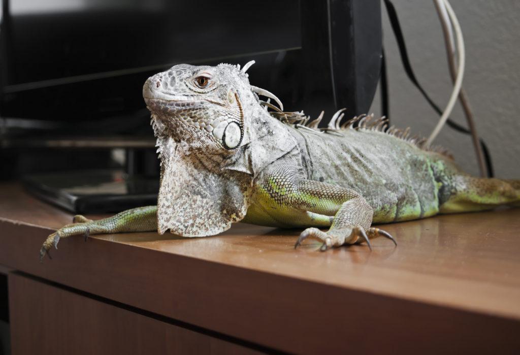 Iguana sul tavolo di casa.