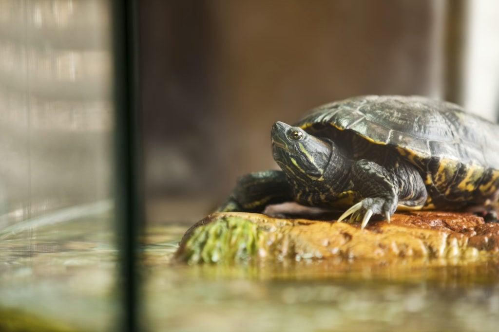 Anche le tartarughe d'acqua amano riposarsi sulla terra.