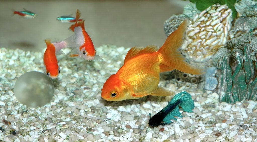 Al contrario di quanto molti pensano anche i pesci rossi amano la compagnia.