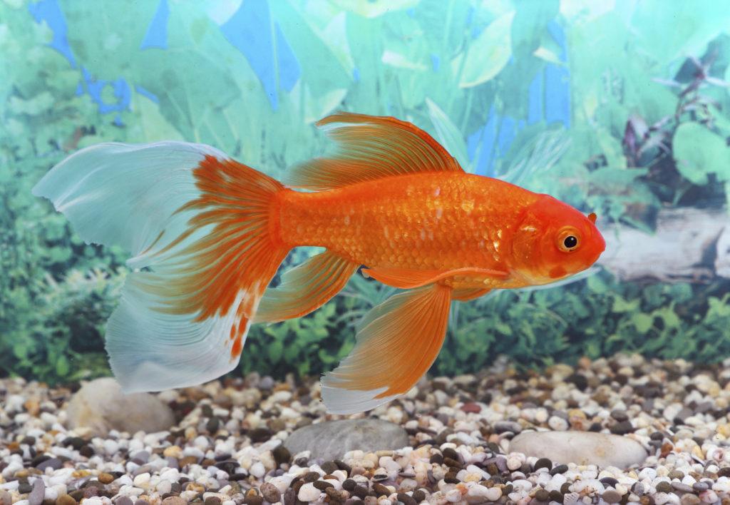 Pesce rosso: un piccolo amico silenzioso e colorato.