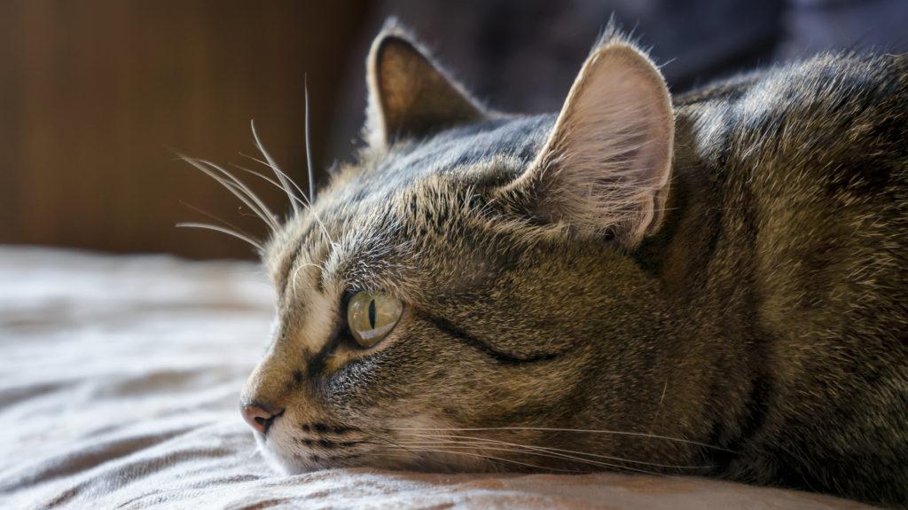 Vomito gatto cause