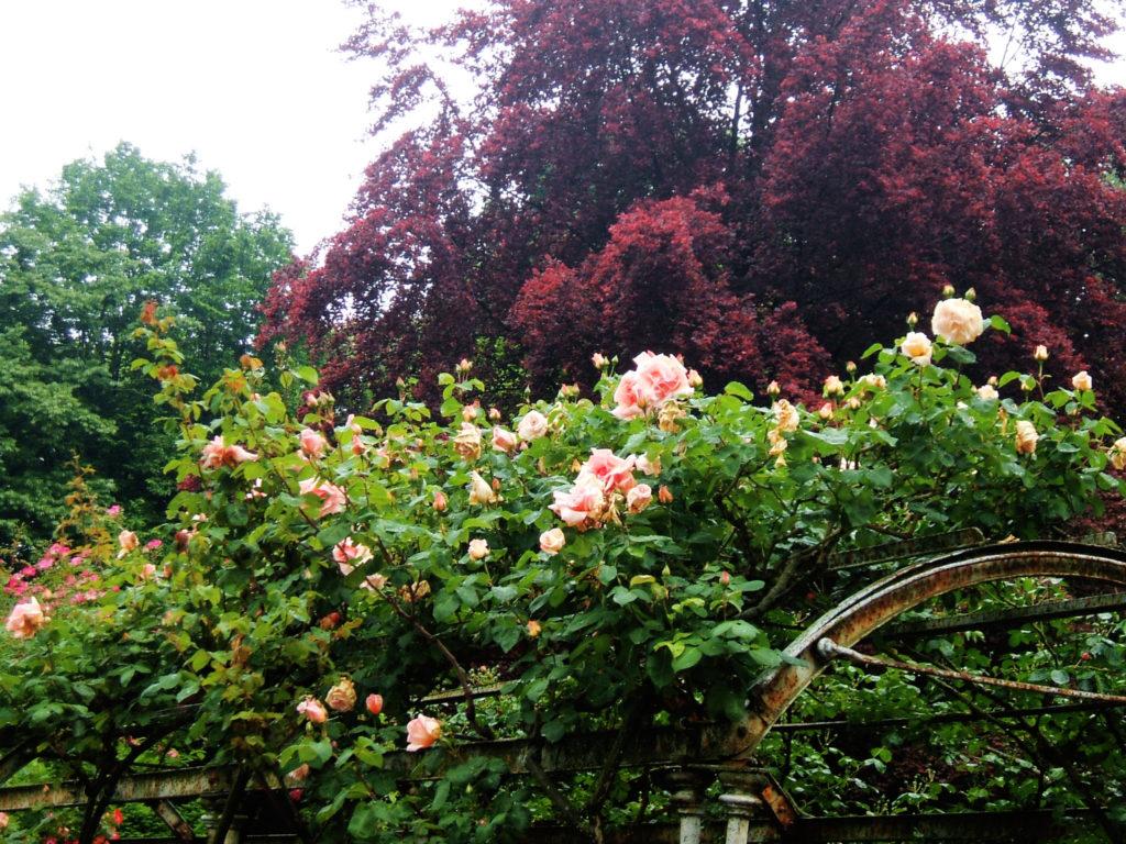 Il roseto dell'Orto botanico di Pavia.