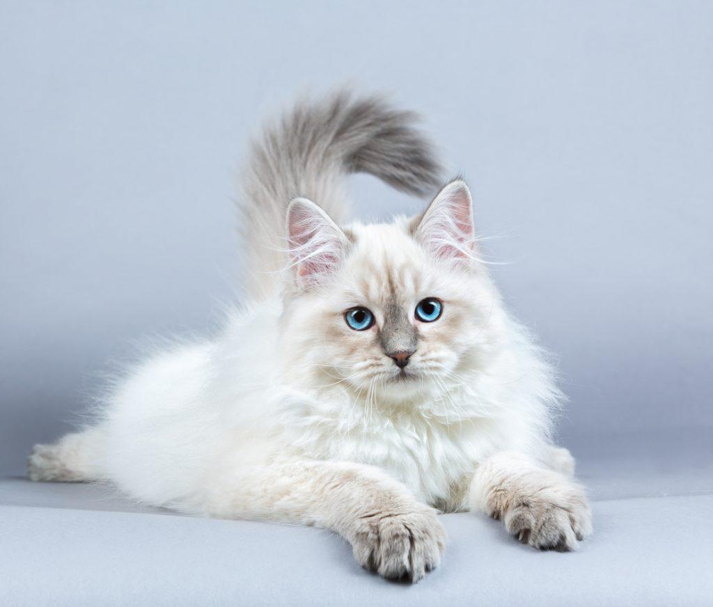 Il gatto siberiano