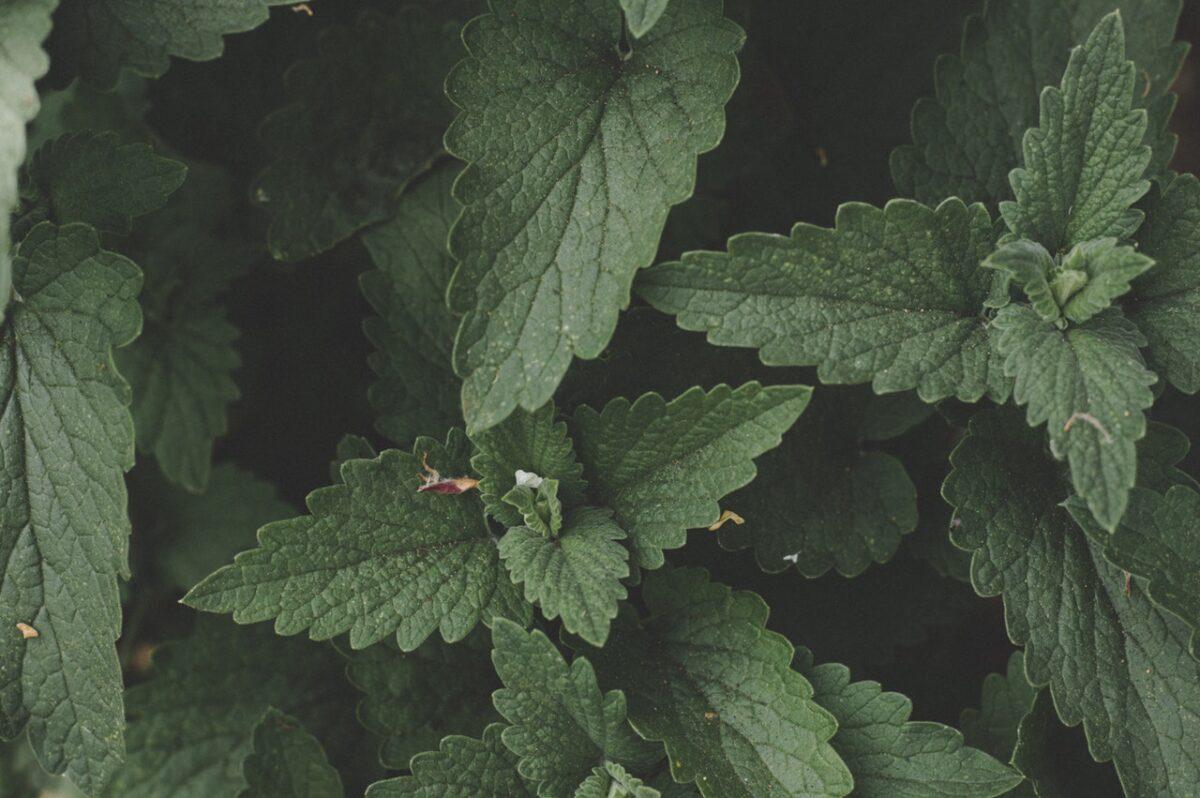 Nepitella o mentuccia: proprietà, controindicazioni e usi