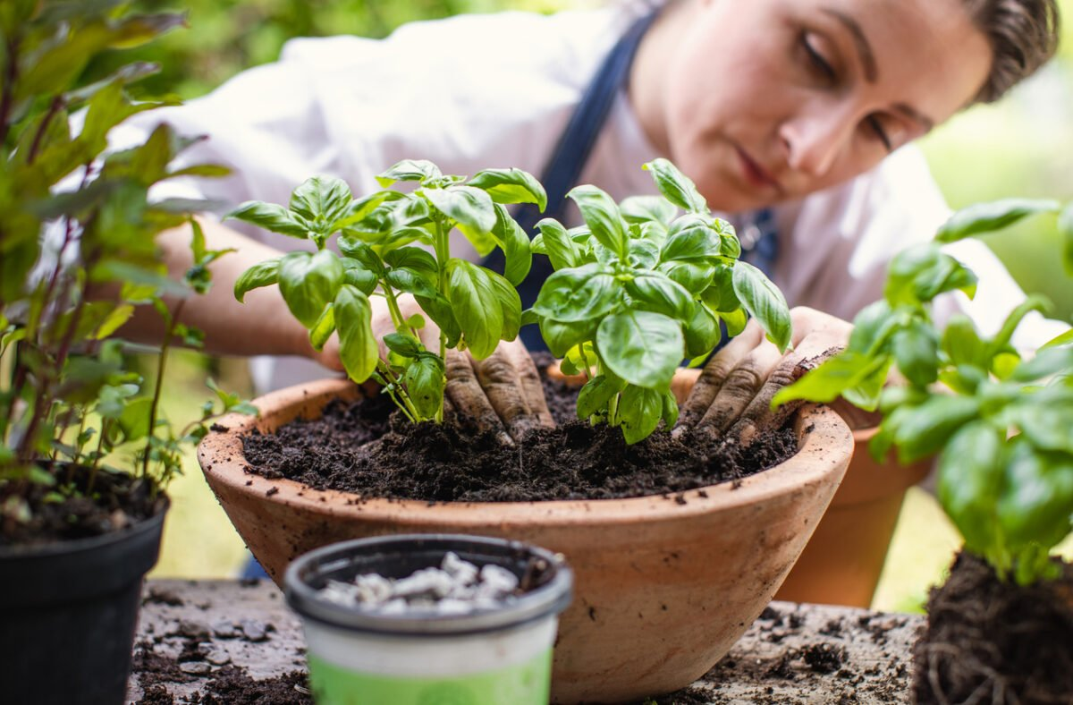 Basilico in vaso, cura e manutenzione