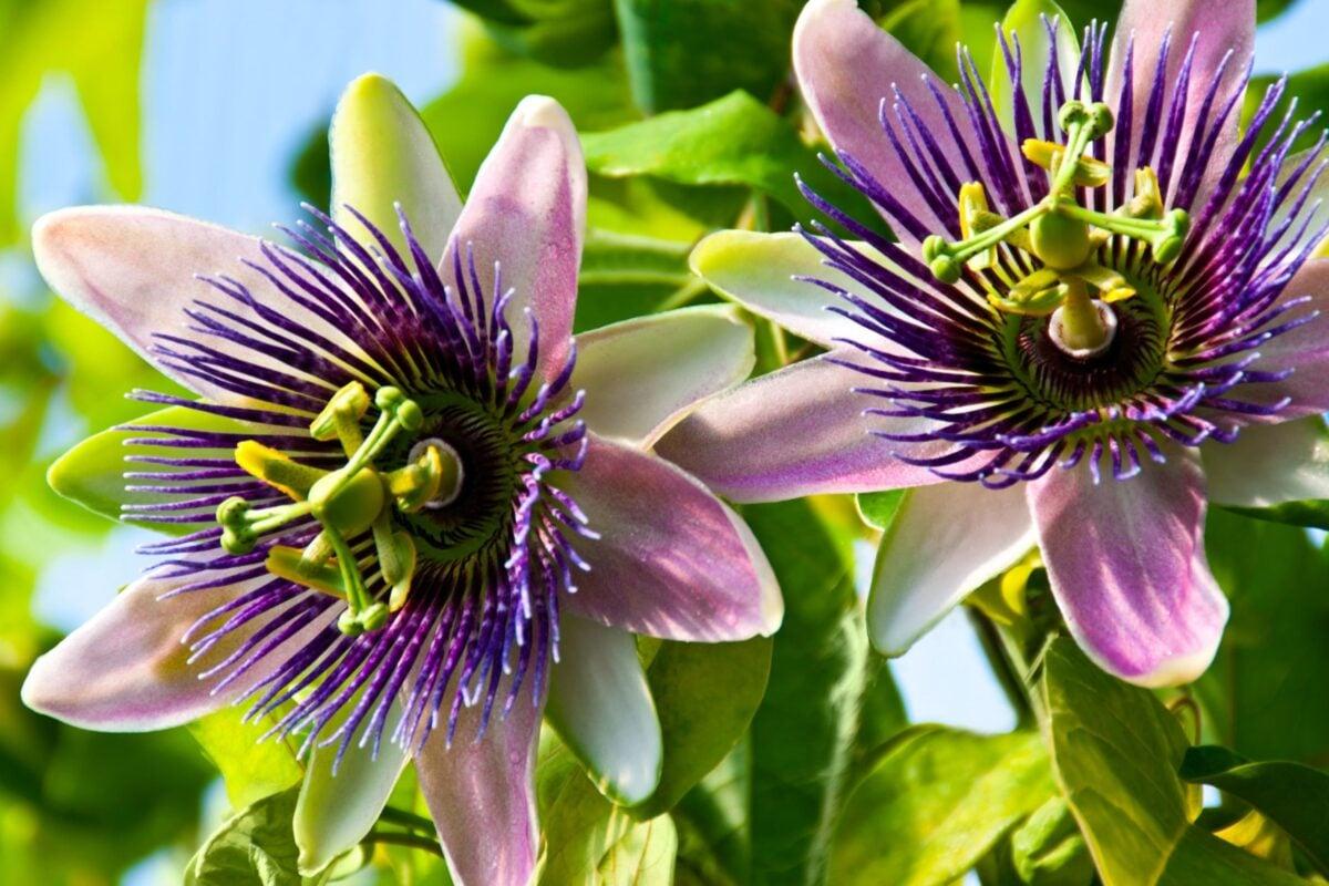 passiflora proprietà e benefici