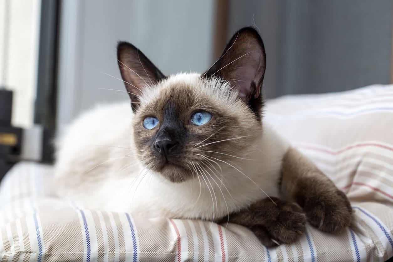 Gatto siamese: carattere e colori di questa razza