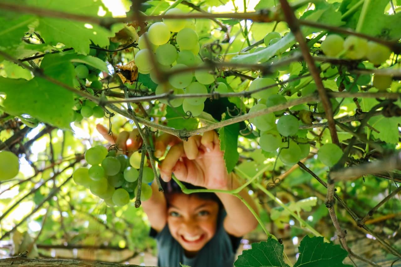 Vendemmia quando si raccoglie l'uva