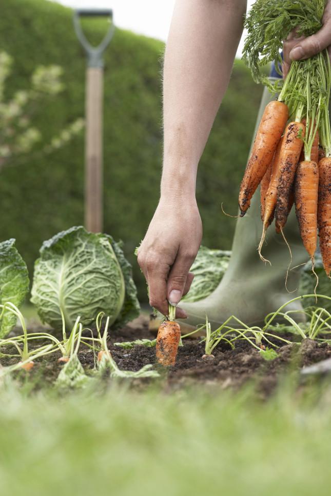 Le carote che hanno i frutti che si sviluppano all'interno del terreno vanno seminati in luna calante