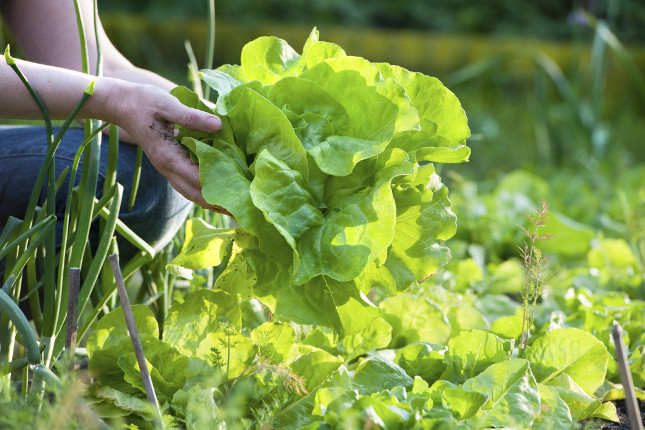 Seminare l'insalata in luna crescente fa si che il raccolto possa essere pronto più velocemente rispetto che seminando in luna calante