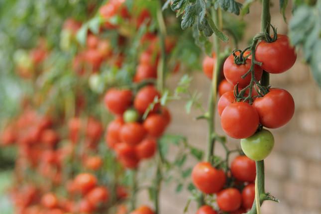 I pomodori sono ortaggi che vanno seminati in luna crescente dato che i frutti crescono fuori dal terreno